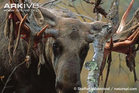 eurasian elk photo alces alces g60090 arkive