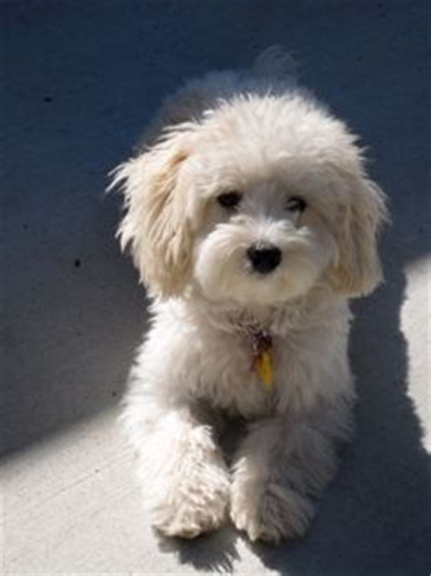 dogs that look like puppies as adults maltipoo holy cow this looks just like my dogs pets so