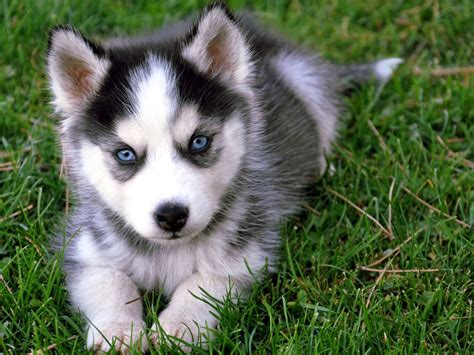 puppy with blue 50 beautiful siberian husky photos and pictures