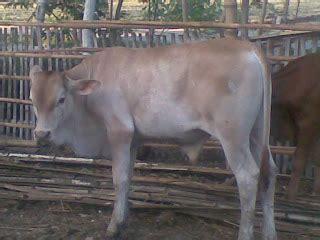 Bibit Anak Sapi tips merawat pedet dunia sapi