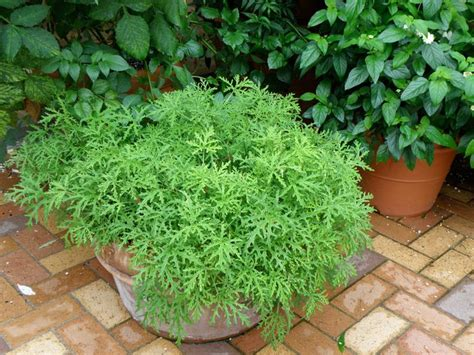 25 best ideas about mosquito plants on pinterest plants that repel mosquitoes insect