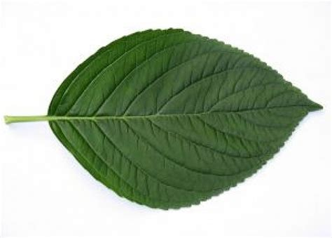 imagenes de hojas otoñales 1 folha de hortensia baixar fotos gratuitas