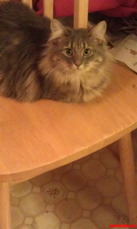 maine coon cat breed maine coon cat breed cute cats hq free pictures of funny