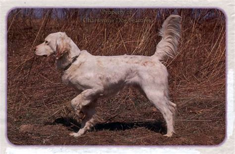 russian setter dog archive