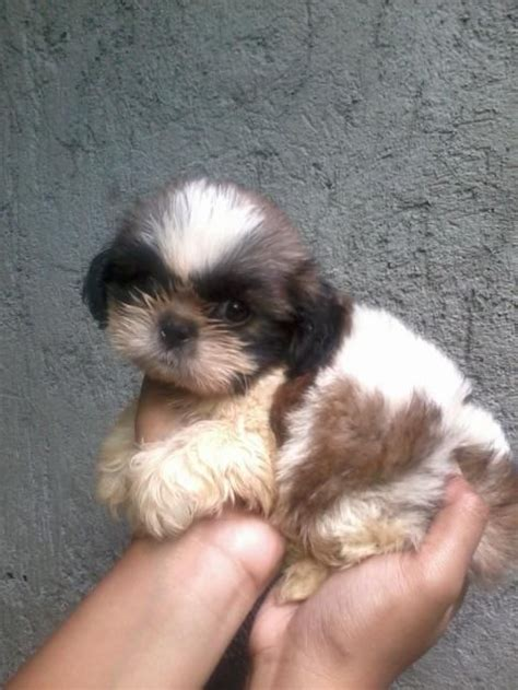 newborn shih tzu puppies 25 best ideas about baby shih tzu on shih tzu