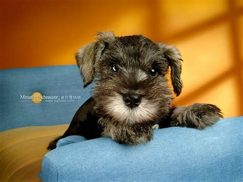 how to give a miniature schnauzer puppy a first haircut ehow miniature schnauzer puppies photos miniature schnauzer