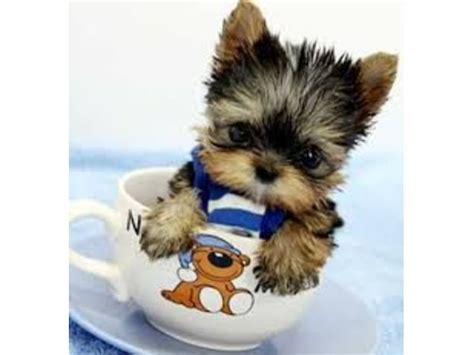 alabama yorkie breeders available yorkie puppies for your family now animals anniston alabama