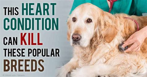 subvalvular aortic stenosis in golden retrievers 42 best images about doggie on aortic stenosis itchy and for dogs