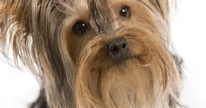 types of yorkie haircuts ideas for yorkie haircuts ehow uk