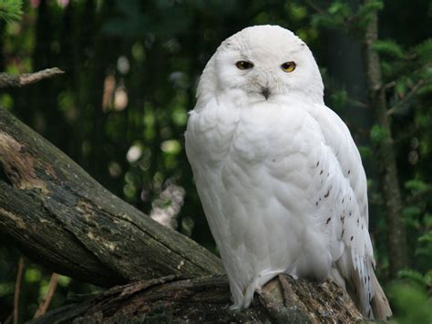 hd wallpapers white owl