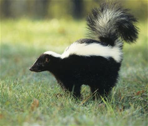 why does my house smell like skunk why does my house smell like skunk 28 images remove
