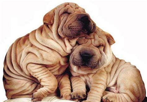 wrinkly puppies wrinkly dogs flickr photo