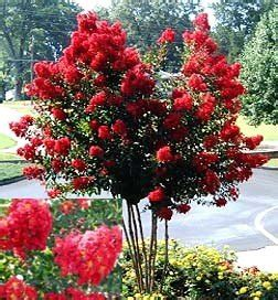 amazon.com : dynamite red crapemyrtle tree (1 foot tall in