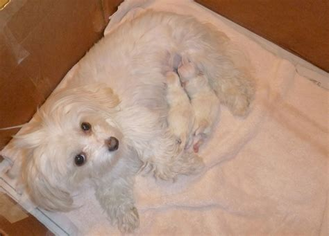 newborn havanese puppies newborn puppy maltese www imgkid the image kid has it
