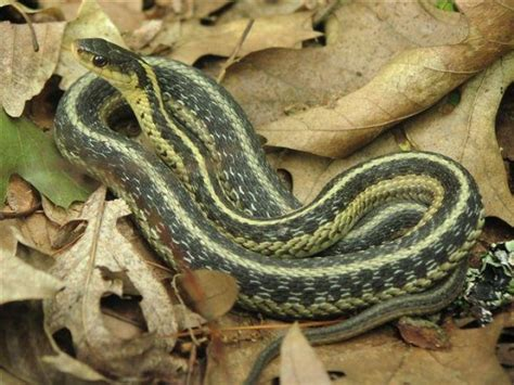 Garter Snake Recipe Tell Us Snakes In The House The Farmer S Almanac