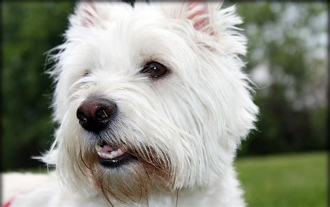 pictures of westie puppies west highland white terrier photo and wallpaper beautiful west highland