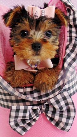 teacup yorkie for sale in pa 25 b 228 sta teacup yorkies for sale id 233 erna p 229 teacup yorkie och baby