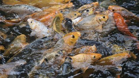 Benih Ikan Koi Sukabumi menyerok untung dari usaha pembenihan ikan tertarik