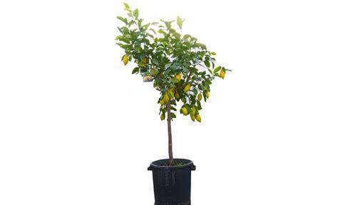 pianta limone in vaso pianta di limone 4 stagioni in vaso 35 cm savini vivai
