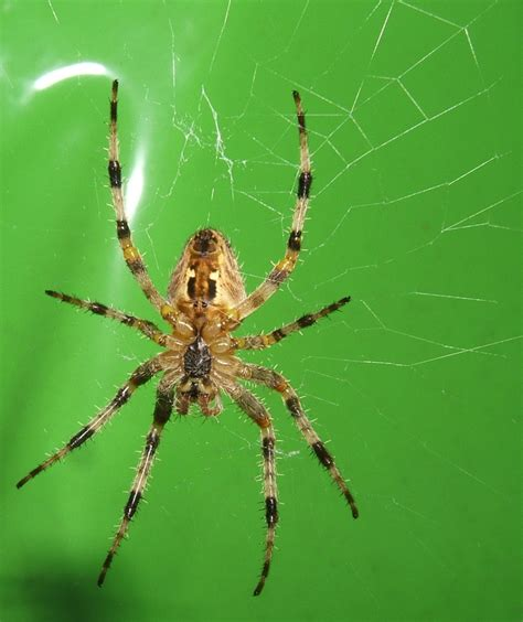 Garden Spider New York Insect Minds