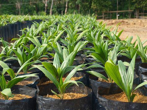 Bibit Kelapa Sawit penjualan benih bibit