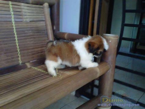 Mini Shih Tzu Istimewa dunia anjing jual anjing shih tzu supermini shitzu