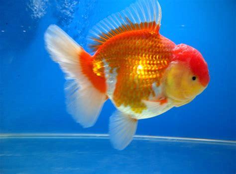 Ikan Koki Tossa by Jenis Jenis Ikan Koki Ferboes