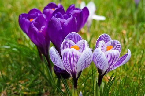 fiore crocus krokus blume fr 252 hjahrsbl 252 183 kostenloses foto auf pixabay