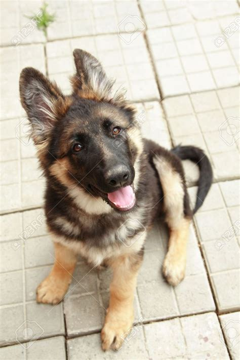 where to get a german shepherd puppy best 25 german shepherd puppies ideas on dogs and puppies german