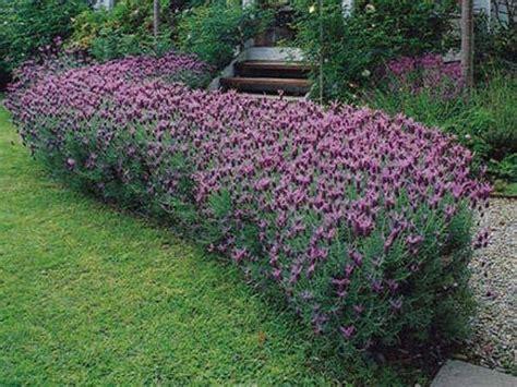lavanda in giardino fioritura lavanda piante perenni periodo di fioritura