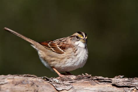 white throated sparrow the audubon birds climate
