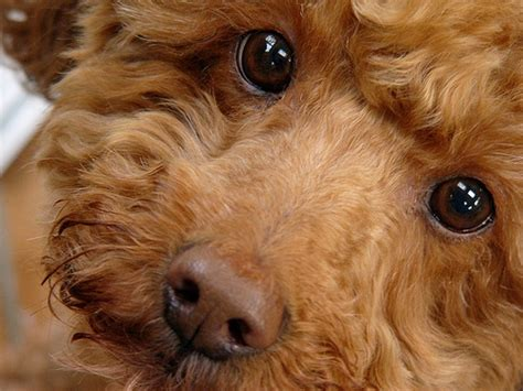 What Breed Of Is Fashionable Right Now by How To Breed Dogs Best Large And Small Breeds