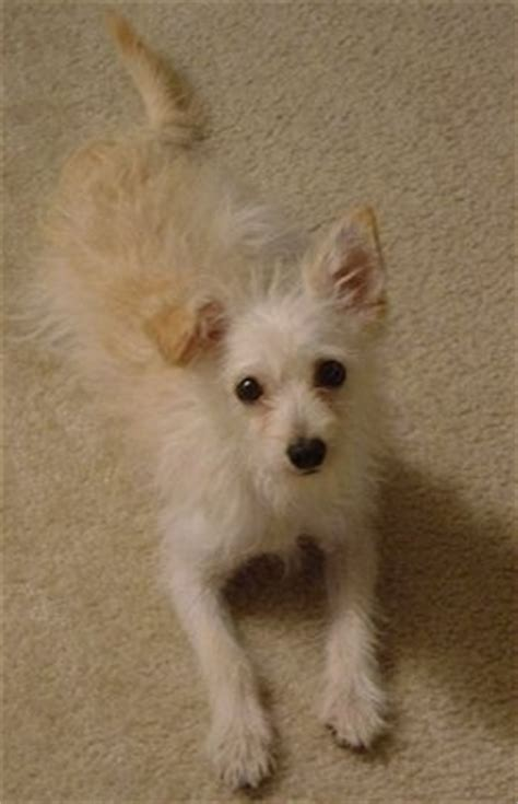 lifespan of chihuahua poodle mix chi poo breed pictures 3