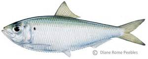Fish S Florida Forage Fish Fish Are A Big Deal To