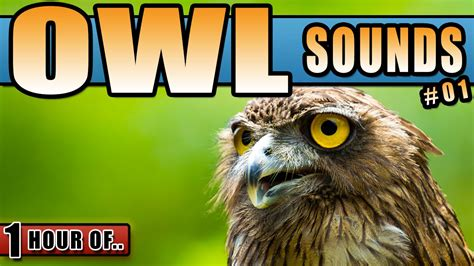 owl sounds owl noises hooting owl sound effect at