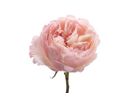 light pink garden rose keira garden roses roses