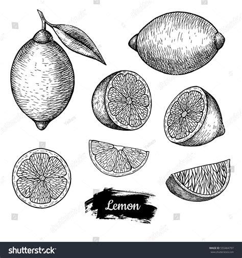 design element citrus hand drawn sketch fruit lemon juicy stock vector 555464797