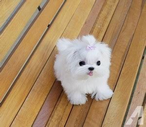 maltese puppies for sale in md beautiful teacup maltese puppies sale text us at 385 351 4290 for sale in silver