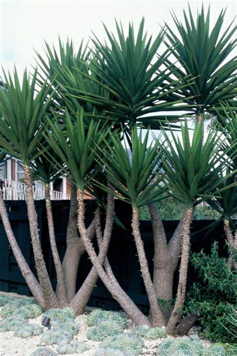 garten yucca yucca palme 26 fantastische bilder zur inspiration