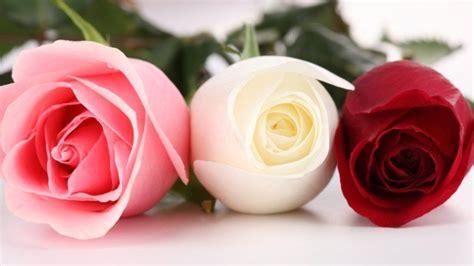 gambar bunga mawar merah putih  pink flowers