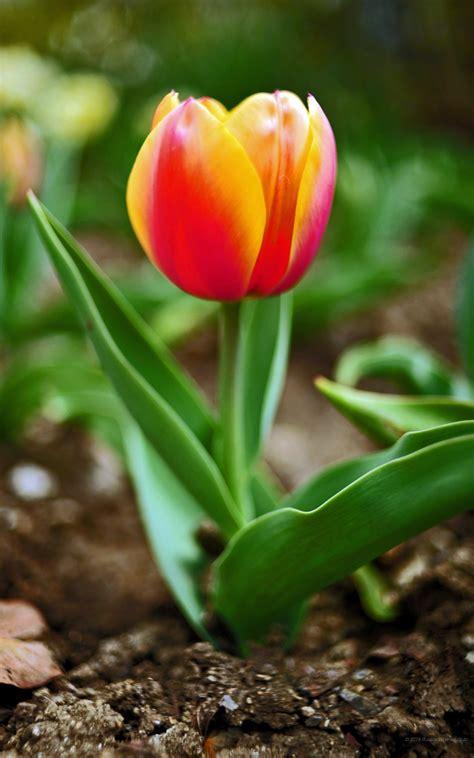 fiori per sfondo sfondi hd desktop fiori 86 immagini