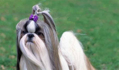 what is the expectancy of a shih tzu shih tzu breed information