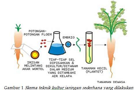 Bibit Tanaman Wortel Dapat Dihasilkan Dalam Jumlah Banyak bioteknologi pendidikan biologi