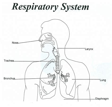 simple diagram with labels simple diagram of the respiratory system unlabeled human