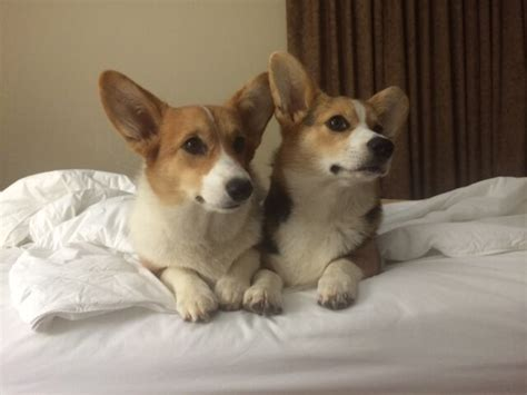 corgi puppies for sale in ga pembroke corgis for sale in cook arena corgis