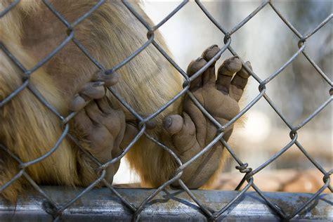monkey feet    feet  meet   zoo domain barnyard flickr