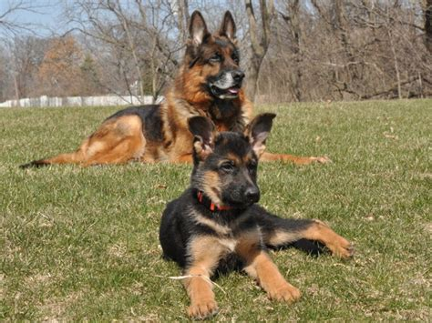 german shepherd puppies in illinois german shepherd puppies for sale quincy il dogs our friends photo