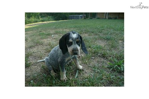 bluetick coonhound puppies for sale near me registered ukc bluetick puppy bluetick coonhound puppy for sale near 0b44fe6e