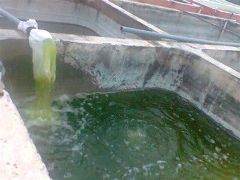 Pakan Larva Ikan Kerapu teknik dan cara pembenihan ikan kerapu macan pada bak beton