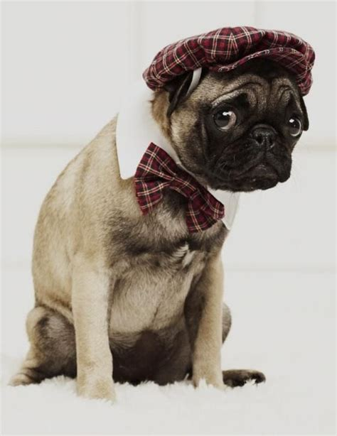 pug puppy clothes animals wearing clothes pets pugs animals and m